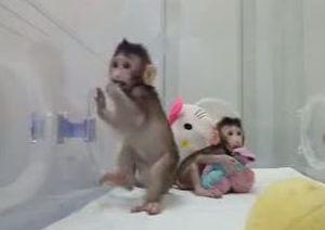 تولد نخستین میمونهای شبیه سازی شده جهان +فیلم و عکس