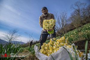 عکس/ برداشت گل نرگس در مازندران