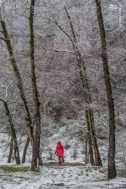 جنگلهای ماسوله که پوشیده از برف است.
