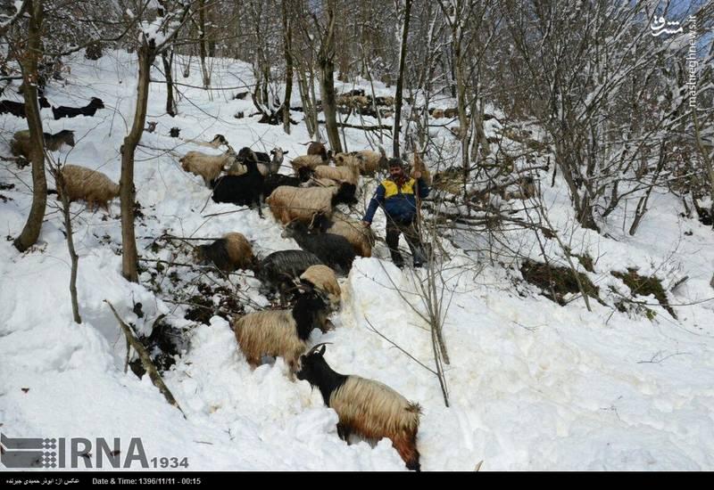 دامهای گرفتارشده در برف