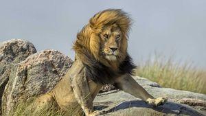 استیل جالب شیر جنگل