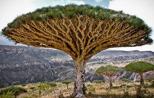 «درخت دزدی» اماراتیها از یمن!