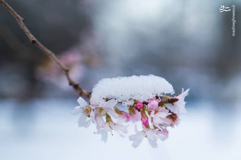شکوفه درخت گیلاس در آلمان