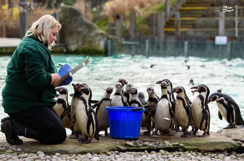 شمارش پنگوئن ها در لندن