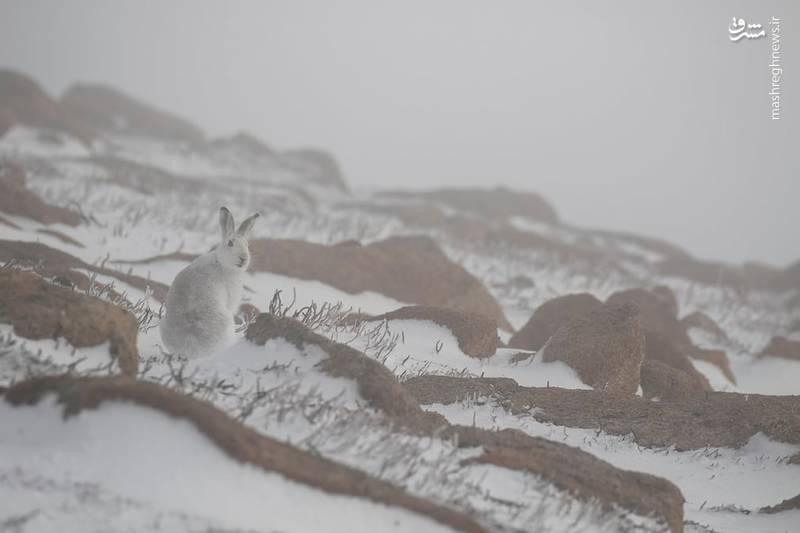 یک خرگوش کوهستانی در پارک ملی اسکاتلند