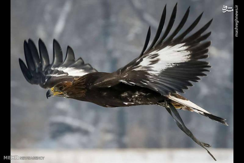 مسابقه شکار با عقاب طلایی