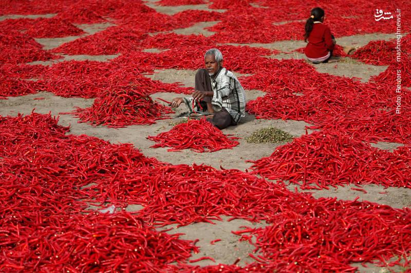 پاککردن محصول فلفل چیلی در احمدآباد هند