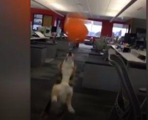 فیلم/ تلاش یک سگ برای رکوردزنی!