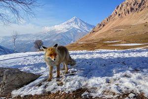 روباه در دشت آزو