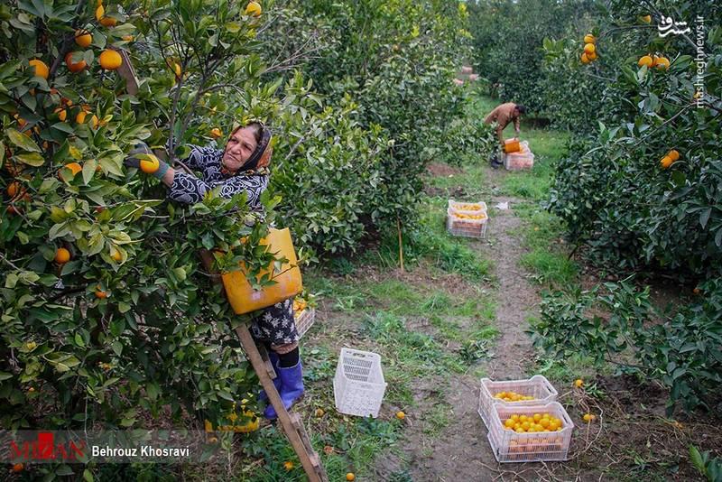 تلاش کشاورزان مازندرانی برای برداشت و ذخیره مرکبات