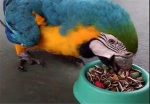 آنفلوآنزای پرندگان خانگی به انسان منتقل میشود؟