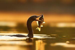عکس/ لحظه شکار پرنده قره غاز