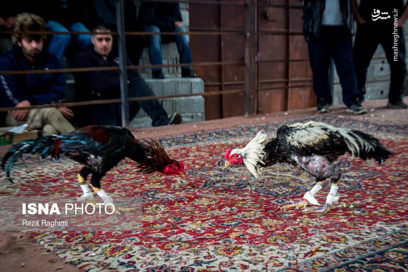 10 روز قبل از اینکه خروس به میدان برود باید رژیم غذایی مخصوص داشته باشد. مثلا پسته، موز، خرما، گوشت گوسفند و انجیر و عسل.