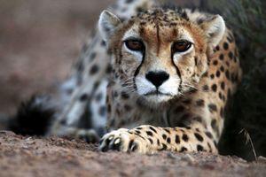 وبسایت محیط زیست سوابق پروژه یوز ایرانی را از دسترس خارج کرد!+عکس