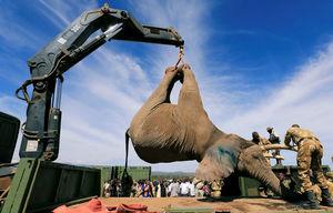 عکس/ روش جالب جابهجایی فیلها