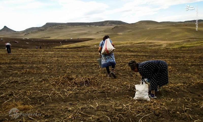 جمع آوری محصولات کشاورزی یکی از کارهای اصلی زنان خانواده هست که می تواند در گذراندن امور زندگی تاثیر گذار باشد.
