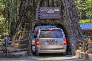درختان غول پیکر که تونل شده اند