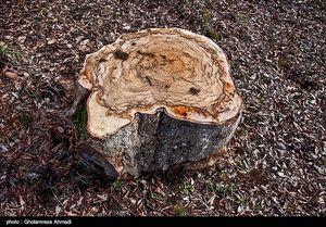 برخورد قاطع با شهروند شیرازی که یک درخت را قطع کرد +عکس