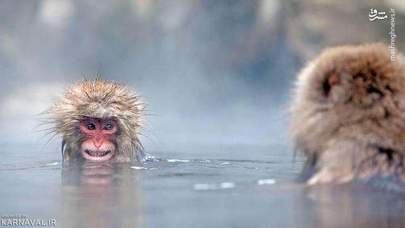 صدها میمون در این پارک زندگی می کنند که رفتارهایی بسیار جذاب دارند.