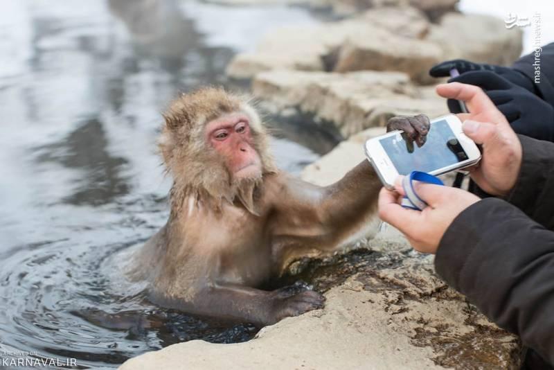 نکته جالب دیگر در رابطه با ماکاک ژاپنی این است که به سرعت با انسان اخت می گیرد. آن ها گردشگران را با آغوشی باز می پذیرند و این روزها آن قدر پیشرفته شده اند که برخی از آن ها استفاده از تلفن همراه را نیز آموخته اند.