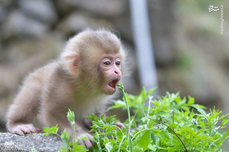 پارک میمون جیگوکودانی از مهم ترین جاذبه های گردشگری ژاپن به شمار می آید