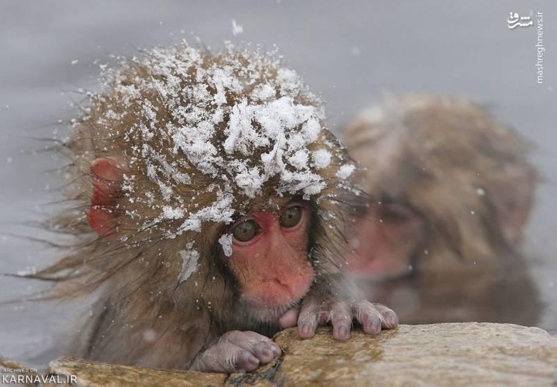 نام اصلی میمون های این پارک، ماکاک ژاپنی (Japanese macaque) و نام علمی شان ماکاکا فاسکتا (Macaca fuscata) است.