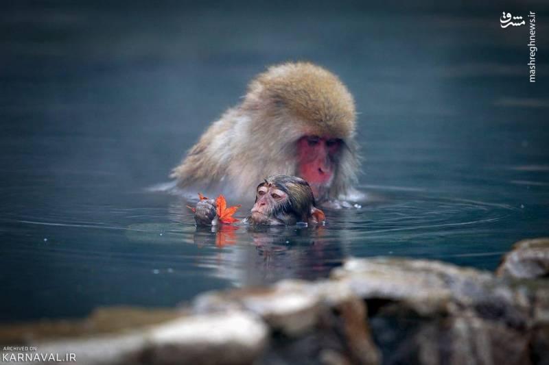 ماکاک های ژاپنی حیواناتی وحشی هستند؛ اغلب افراد این نکته را نمی دانند و تصور می کنند که آن ها نیز مانند اغلب میمون ها اهلی هستند. آن ها دوست دارند که دور از شهر و روستاها و در دامان طبیعت زندگی کنند و از انسان ها دور باشند. از مهم ترین دلیل هایی که میمون های ماکاک در پارک میمون جیگوکودانیی باقی مانده اند، غذایی است که مسوولان این پارک به صورت منظم به آن ها می دهند.