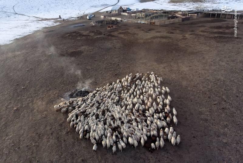 گله ای از گوسفند در روسیه