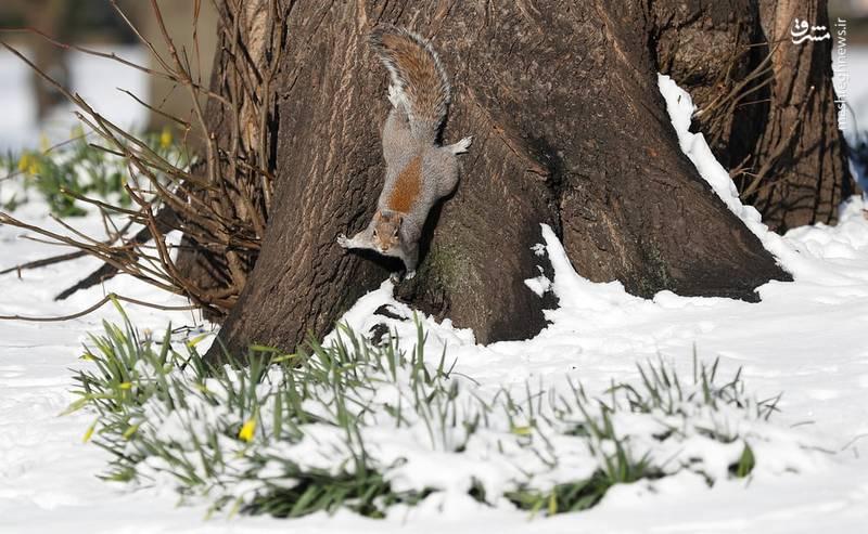سنجاب در پارک لندن