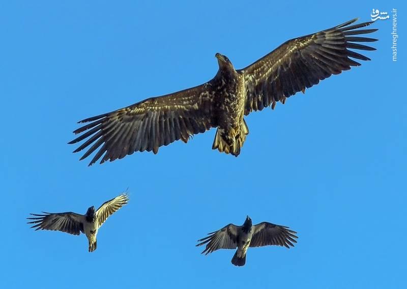 در یک قدمی عقاب