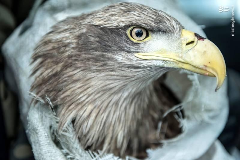 تصویری زیبا از عقاب در لهستان