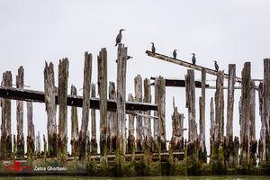 پرندگان مهاجر تالابهای شمالی