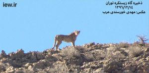 عکس/ مشاهده 4 یوزپلنگ در سمنان