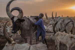 عکس/ کوچ گلهداران سودان