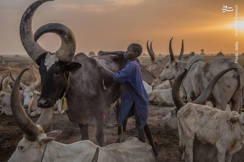 مهاجرت دامداران سودان جنوبی به سواحل نیل در فصل کمآبی