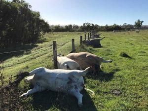عکس/ برخورد صاعقه به گله گاوها