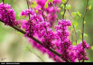 عکس/ شکوفههای بهاری گیلان