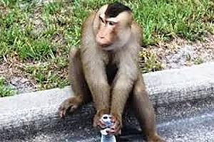 فیلم/ تلاش برای دستگیری میمون فراری!