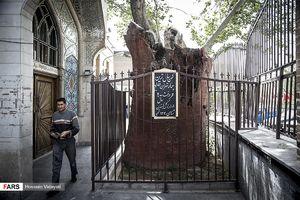 عکس/ کهنسالترین چنار تهران