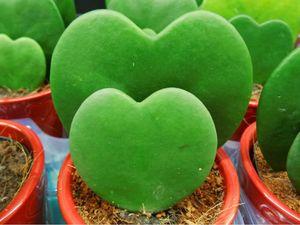 عکس/ کاکتوس های قلبی شکل