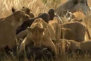 فیلم/ خوردن بچه فیل زنده توسط شیرها!