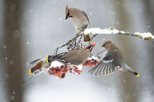 عکس/ میوه خوردن گروهی پرندگان