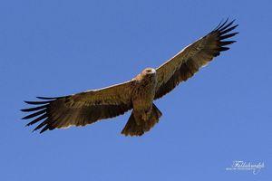فیلم/ برخورد عقاب با هواپیمای مسافری!