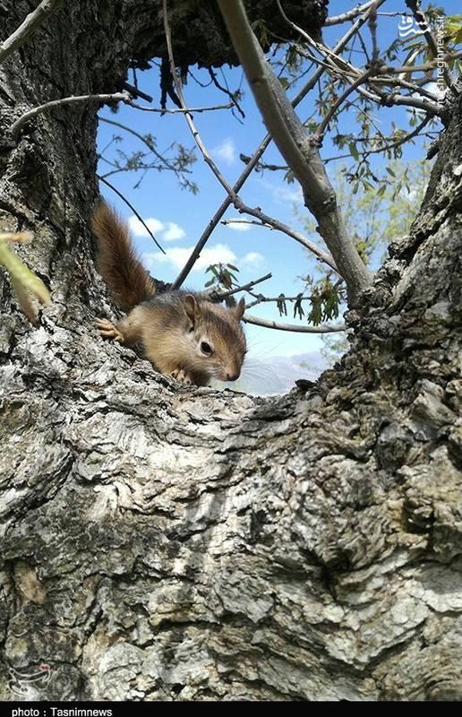 رهاسازی محموله سنجاب در طبیعت