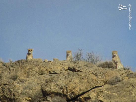 عکس/ مشاهده 3 یوزپلنگ در پارک ملی توران