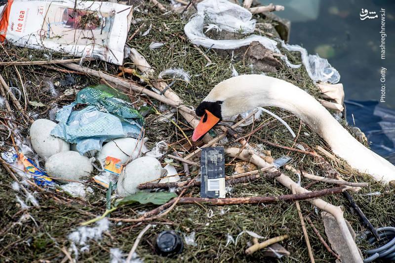 آغشتهشدن آشیانه قو به زبالههای پلاستیکی در کپنهاگ، پایتخت دانمارک