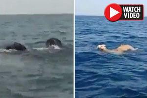 فیلم/ شنای چند فیل و شتر در اقیانوس!