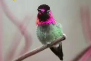 فیلم/ پرنده ای که 62 رنگ عوض می کند!