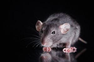 فیلم/ خوشگذرانی موشها در یک فست فود
