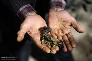 عکس/ خسارت سرمازدگی به باغات همدان
